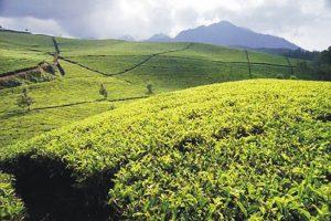 TeaPlantation.Puncak-bogor